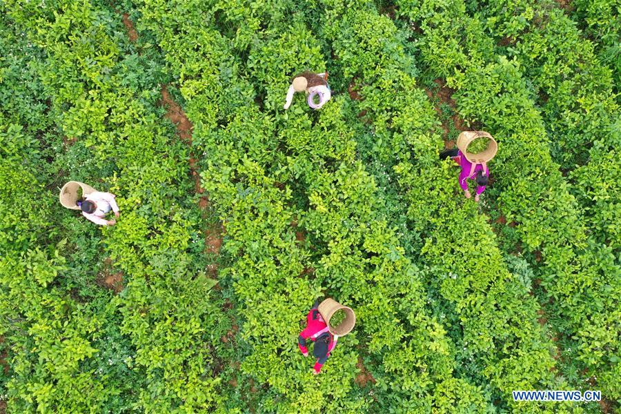 Development of tea industry helps lift people out of poverty in China's Guangxi