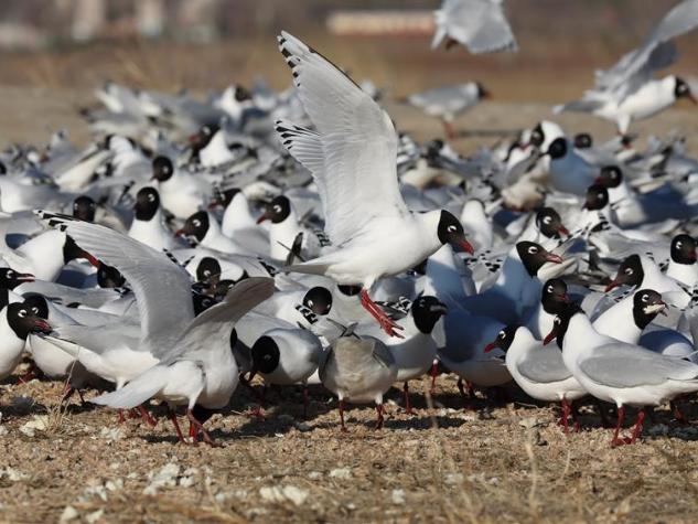 Relict gulls seen in national wetland park in Hebei