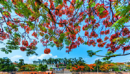 Delonix regia in full bloom in China's Panzhihua