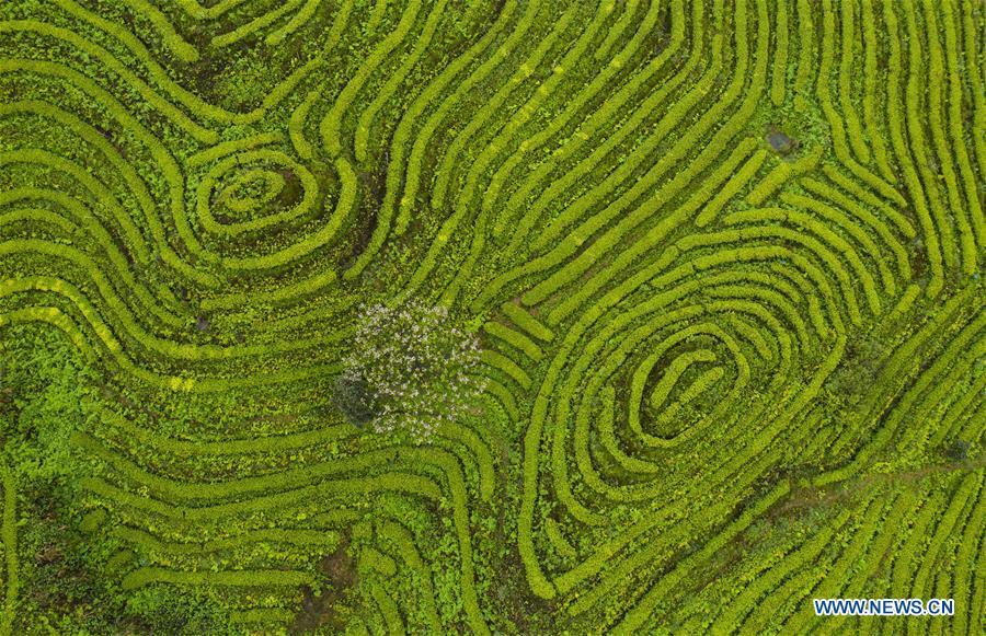 Scenery of Luming tea plantation in Gongxian, Sichuan