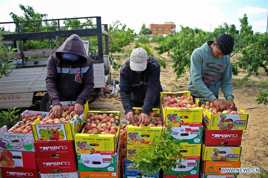 Palestinian farmers harvest peaches in southern Gaza Strip city of Khan Younis
