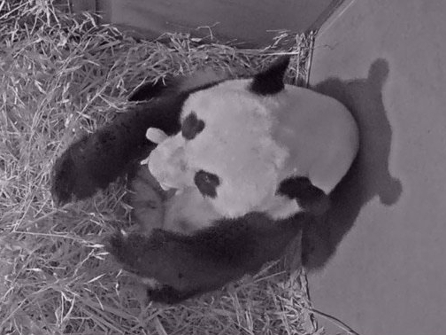 Giant panda cub born in zoo in The Netherlands