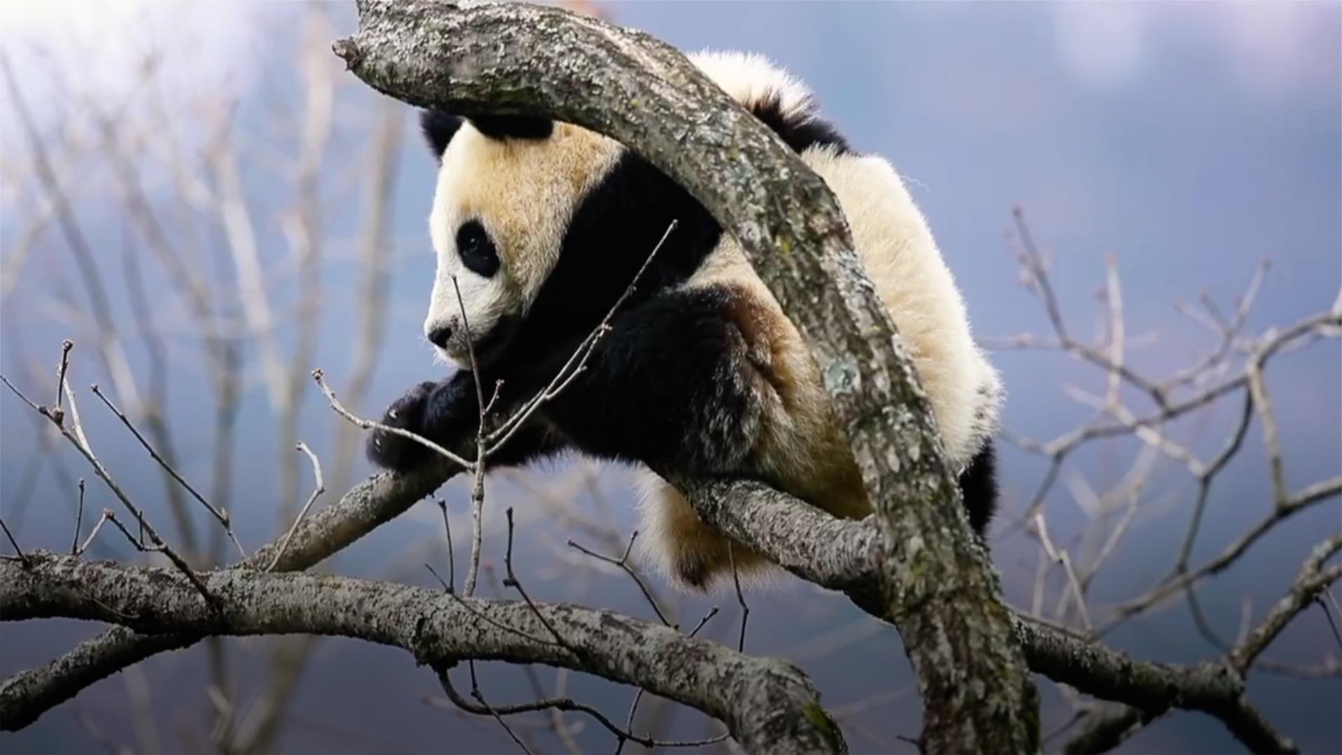 Story of panda village: How panda changed residents' life