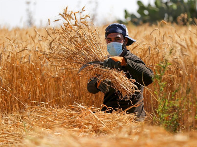 Palestinian farmers wearing face masks harvest wheat in southern Gaza Strip city of Khan Younis