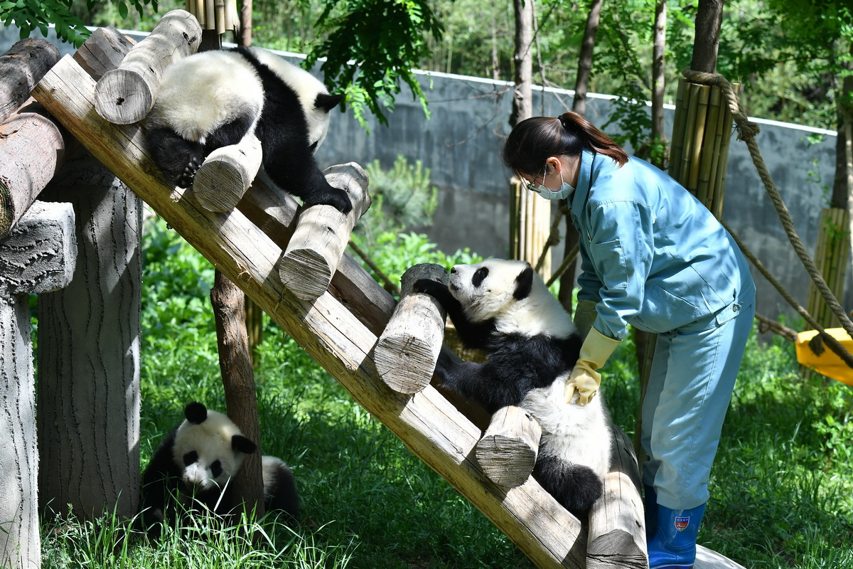 Giant pandas in NW China's Shaanxi