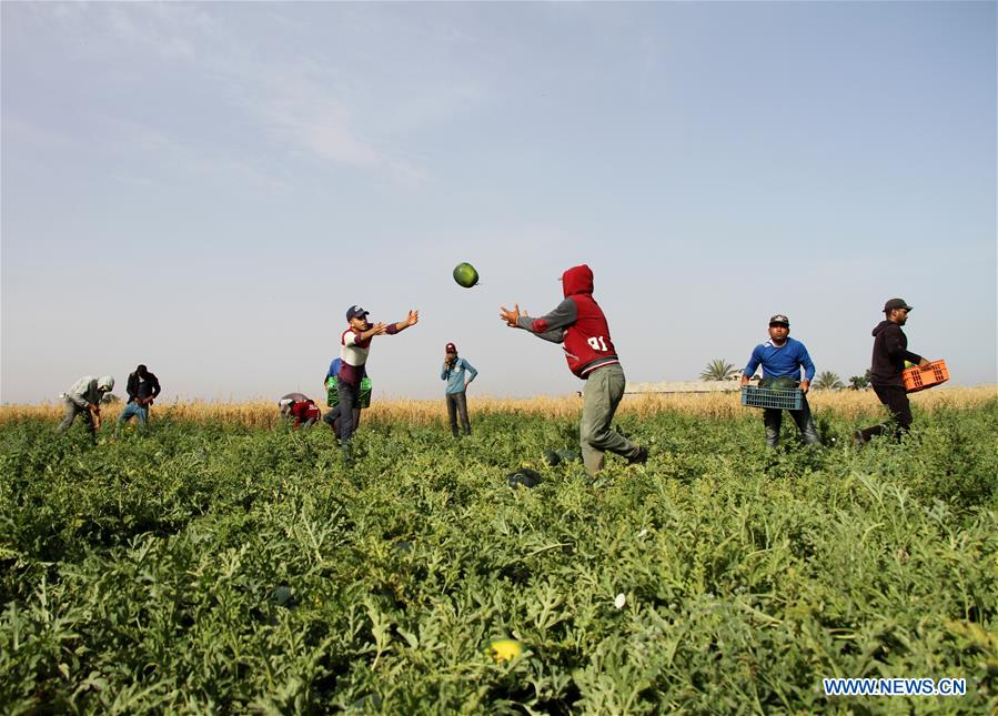 Farmers collect watermelons in field near southern Gaza Strip city of Khan Younis
