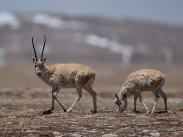 Pregnant Tibetan antelopes begin annual migration to Hoh Xil