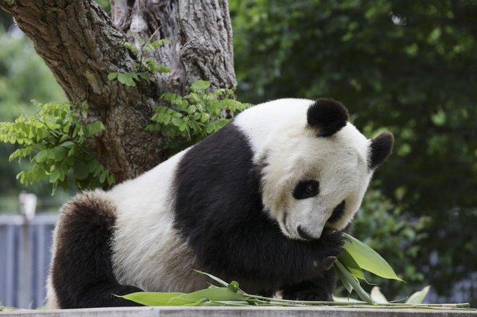 Japan's Kobe city to return giant panda to China