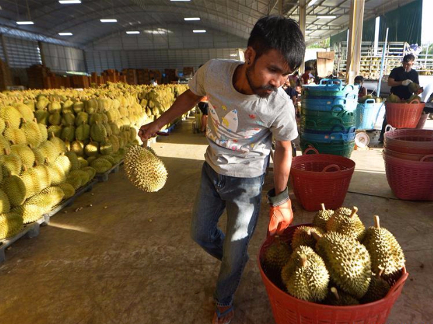 People transport newly-picked durians in Chanthaburi Province, Thailand