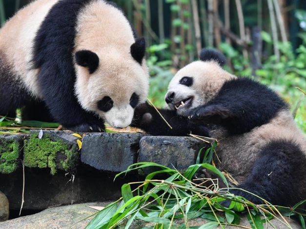 Giant pandas at Chimelong Safari Park in Guangzhou