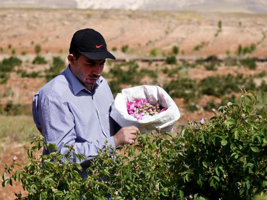 Rose harvest in Syria