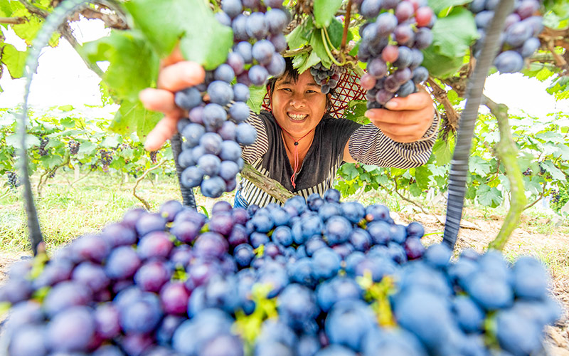 Grape harvest helps alleviate poverty in Guangxi