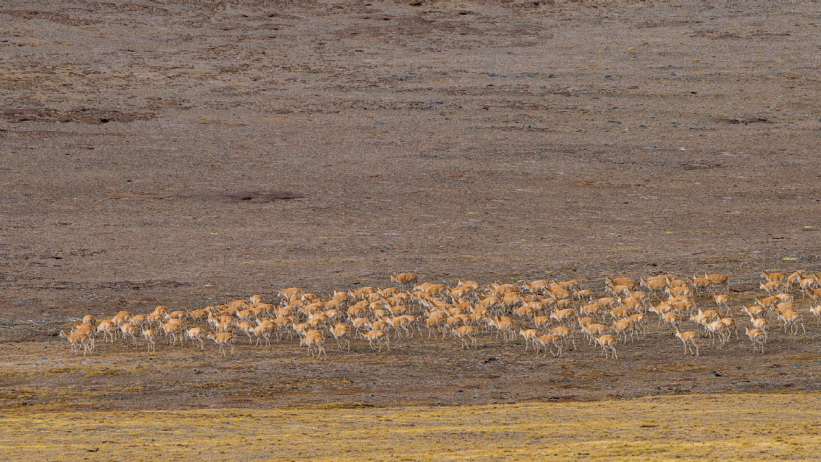 Pregnant antelopes begin annual migration
