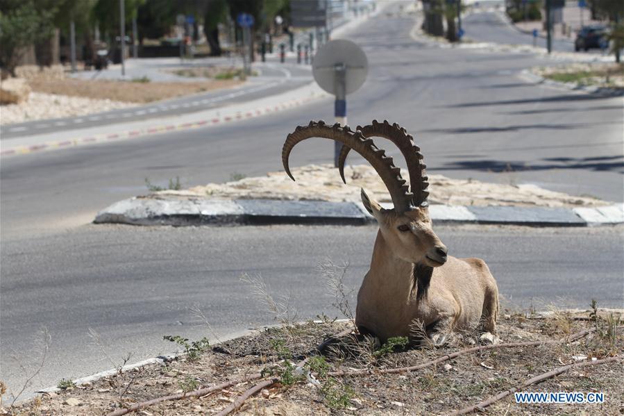 Nubian ibexes seen in Mitzpe Ramon, southern Israel