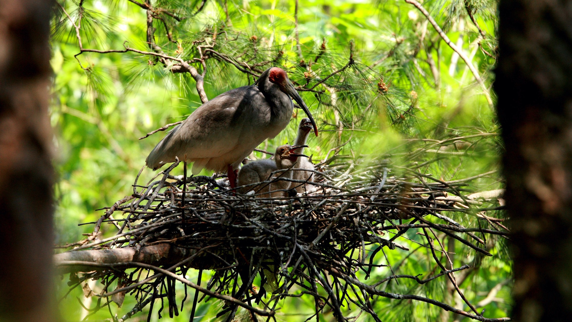 Crested ibis couple released in the wild hatches four chicks