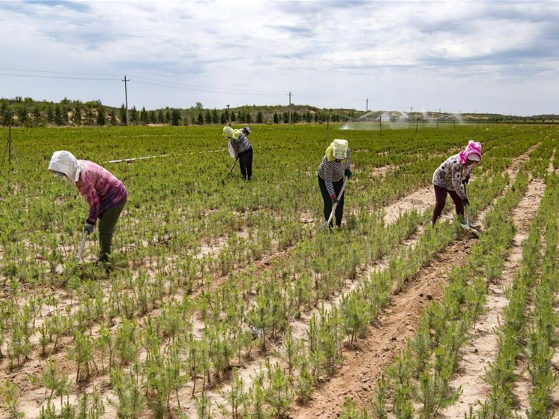 Shaanxi villager develops planting to control sand