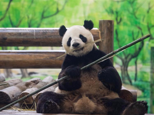 8 giant pandas settle in Fenghuang County