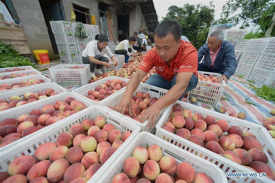 Farmers harvest peaches in Guizhou