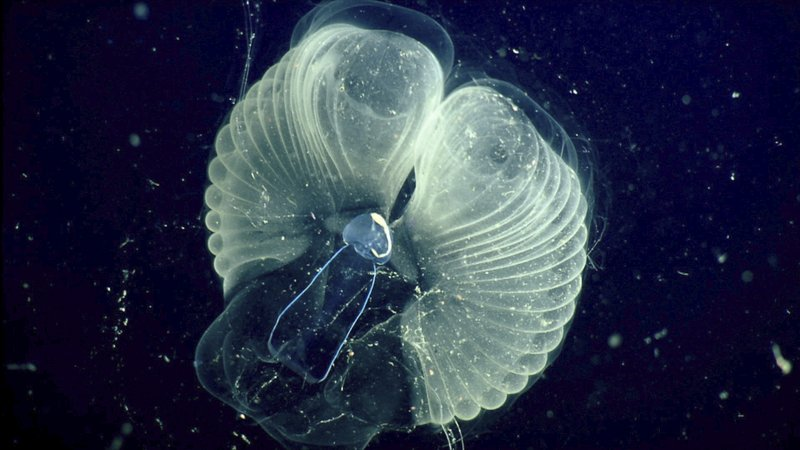 Scientists learn how tiny critters make ocean 'snot palaces'