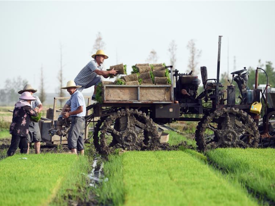 Farmers manage rice plants in Anhui