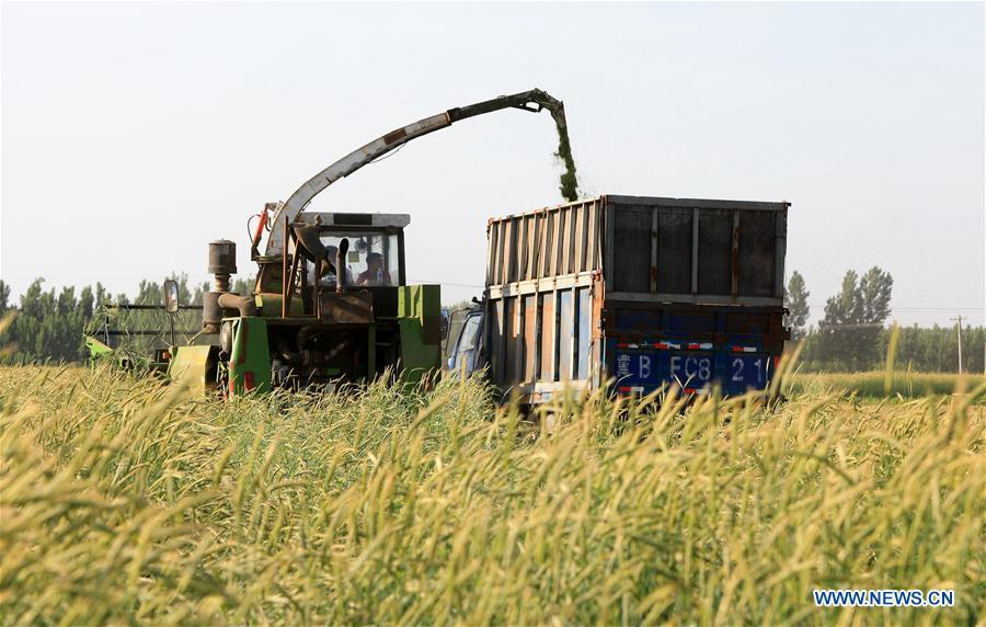 People harvest forage grass in Tangshan, N China