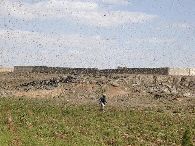 Billions of desert locusts swarm through war-torn Yemen