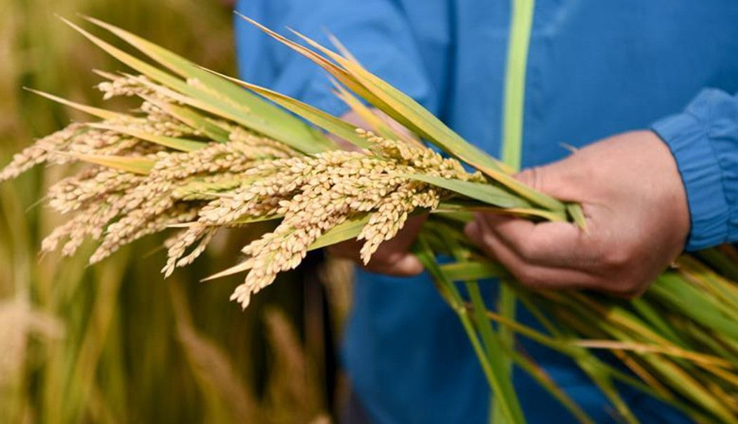 'Sea rice' planted on Qinghai-Tibet Plateau for first time