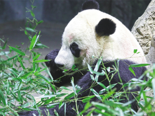 Giant panda park to be established by year's end