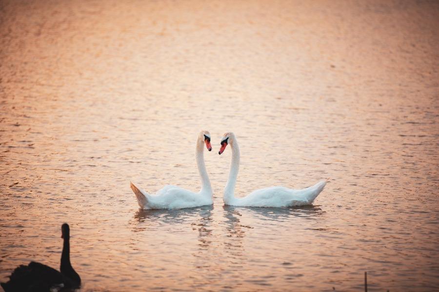 Swans spotted at Jixi National Wetland Park