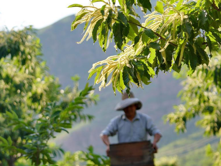 View of chestnut forest in Qian'an City, N China's Hebei