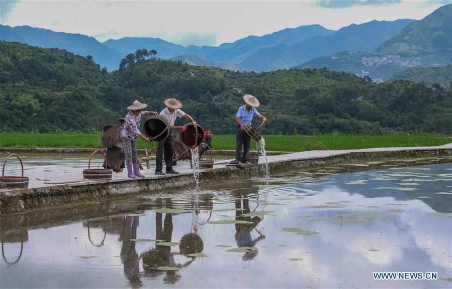 Farmers plough for transplanting rice seedlings in Zhejiang