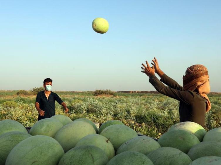 Farmers harvest watermelons in suburb of Baghdad, Iraq