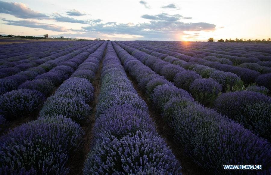 In pics: lavender field in bloom near village of Mesimeri in Greece