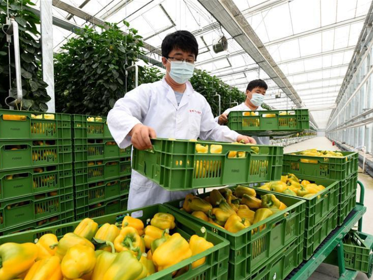 North China's Hebei rushes to replenish Beijing's vegetable supply