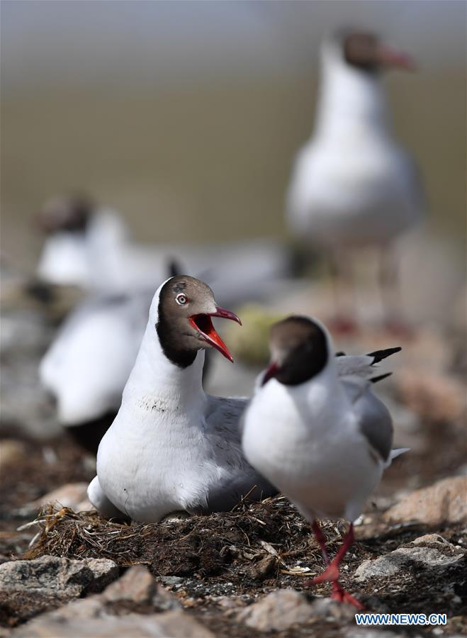 Brown-headed gulls seen at bird island in Amdo County, Tibet