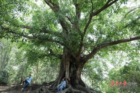 Hainan released a list of 1081 first-level protected ancient trees