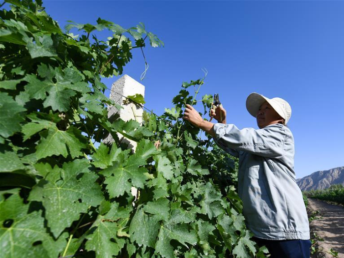 Vegetable planting, winemaking flourish in Xinjiang's county