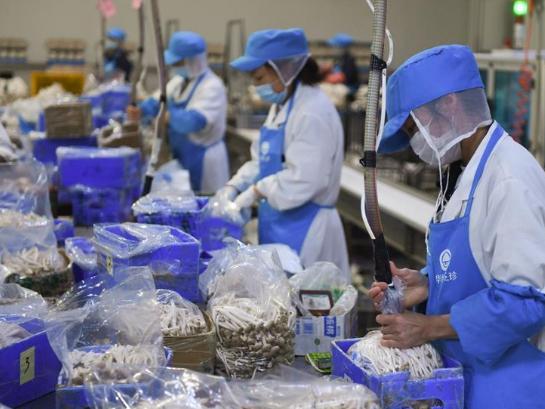 Workers package edible fungus at modern agricultural industrial base in Siyang, Jiangsu