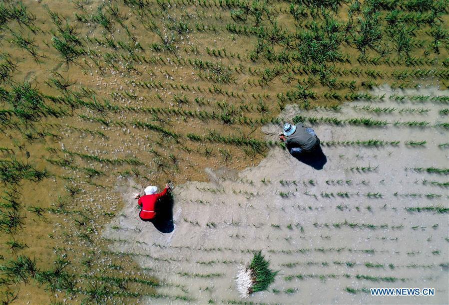 Farmers weed at rice field in Arda Village of Xinjiang