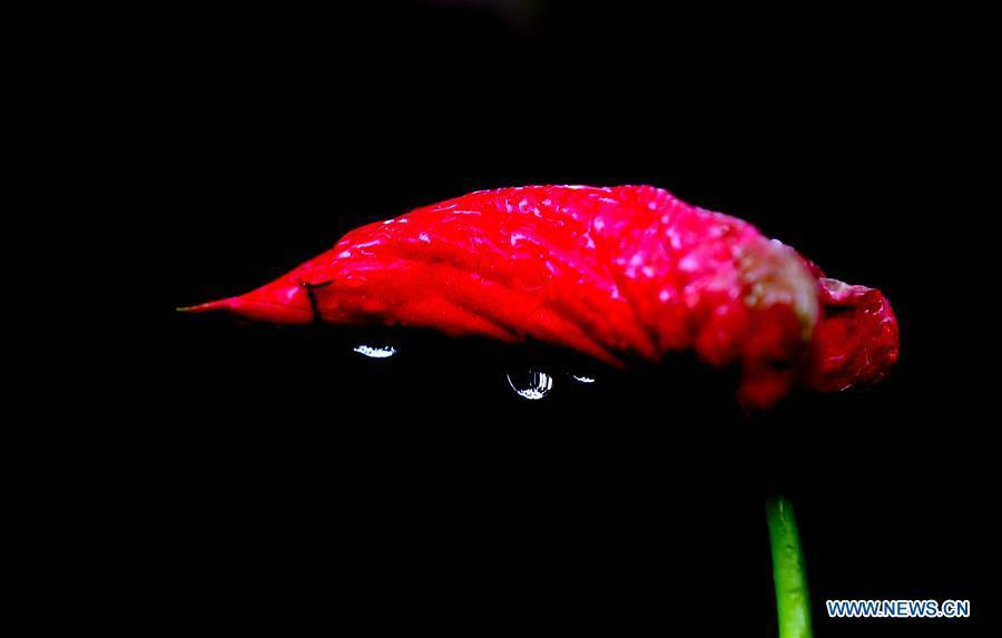 Raindrops seen on plants after rain in Yangon, Myanmar