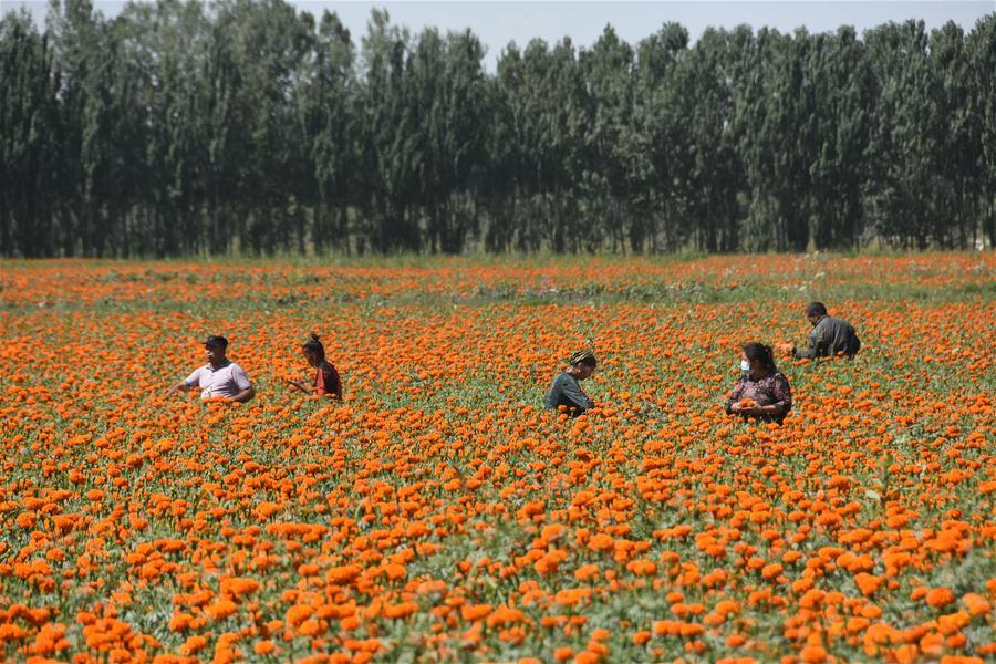 Shache County in Xinjiang accelerates its steps to shake off poverty by planting marigold