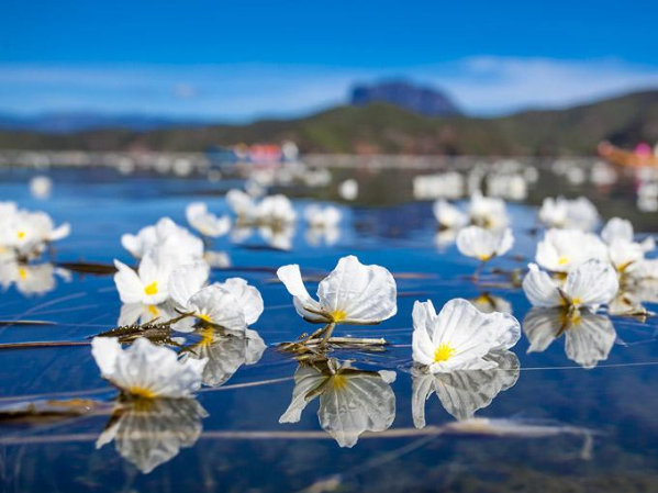 Rare aquatic plant blooms in Southwest China's Yunnan