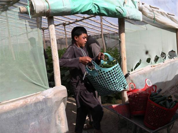 Afghan farmers pack cucumbers at greenhouse in Ghazni