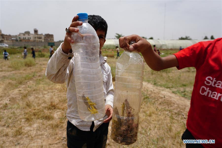 Desert locusts swarm through Yemen's capital