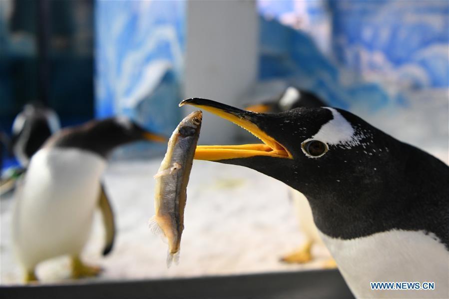 Penguins at Harbin Polarland enjoy special 'Fish Zongzi'