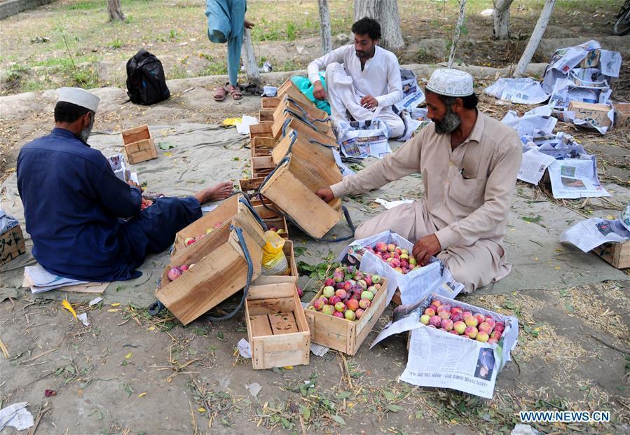 Plum harvest season in Pakistan