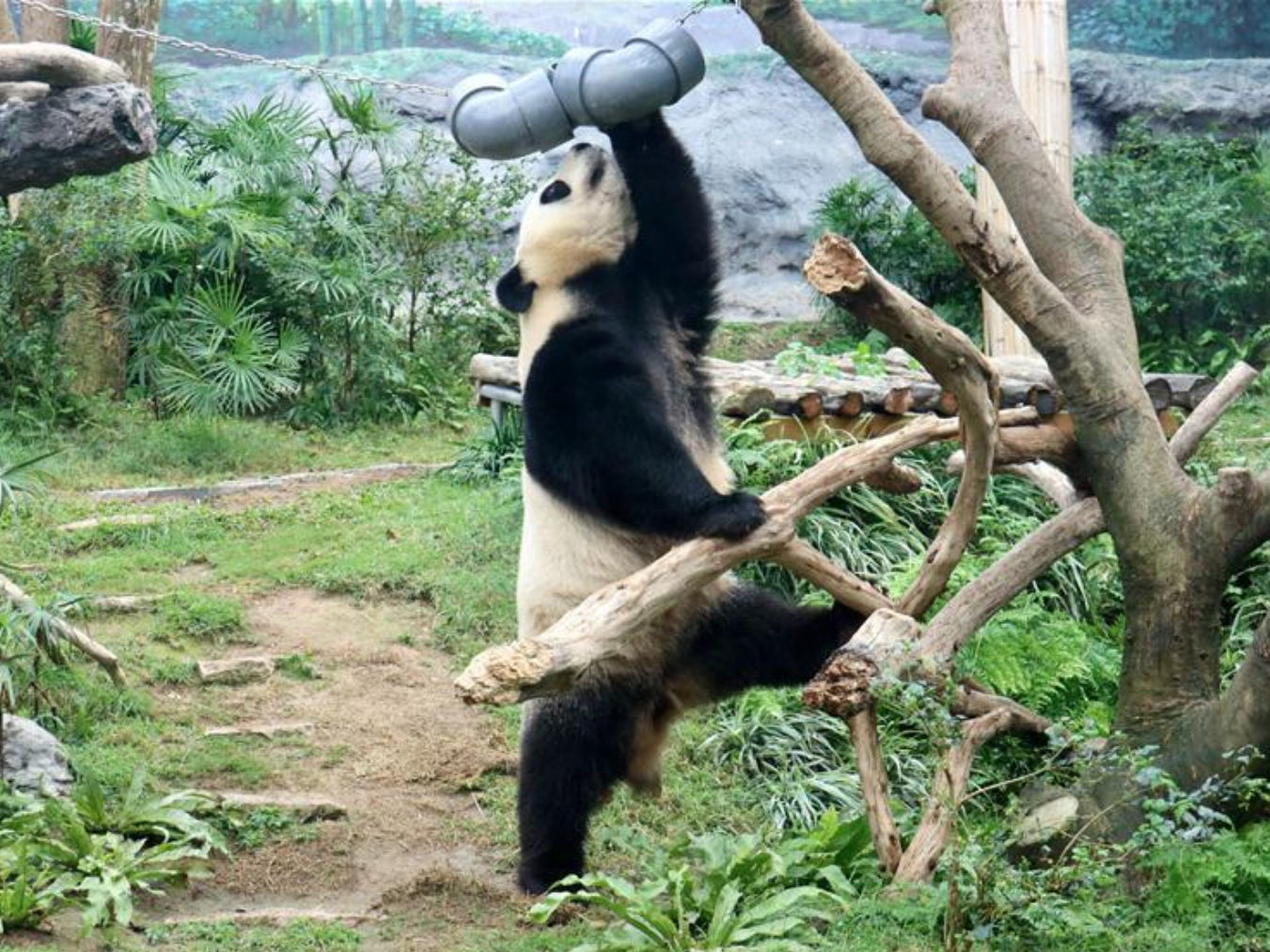 Giant pandas celebrate their fourth birthday in Macao