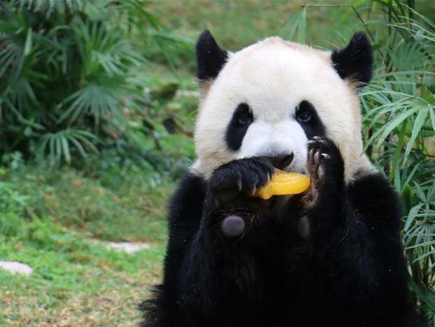 Giant pandas celebrate their fourth birthday in Macao