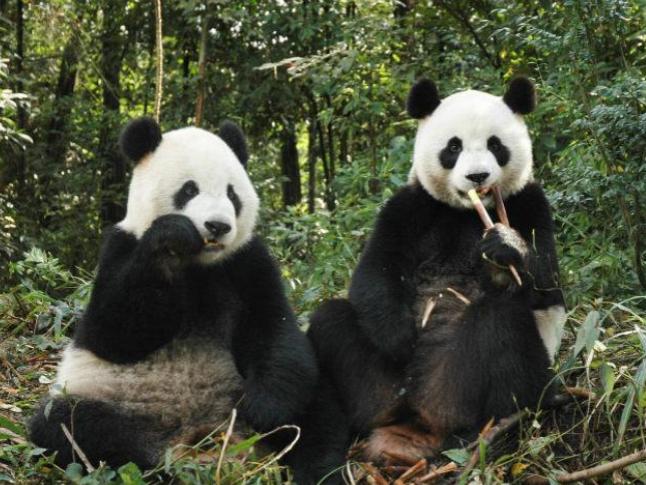 Mainland giant panda has second cub in Taiwan