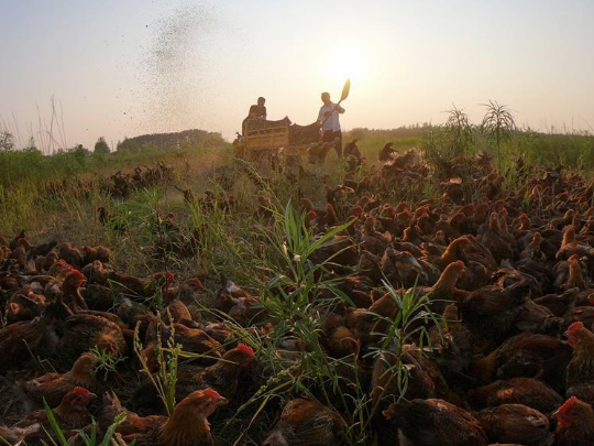 Chicken farmer in northeast China gains popularity on internet